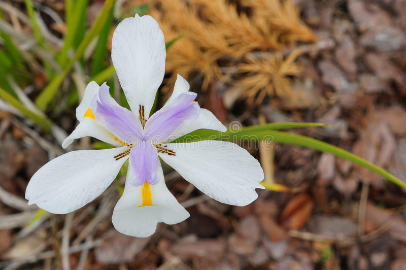 De purpere en witte grandiflora bloem van Dietes royalty-vrije stock fotografie