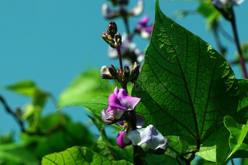 De Purpere kleur Hyacinth Bean bloeit met groene bladeren royalty-vrije stock foto