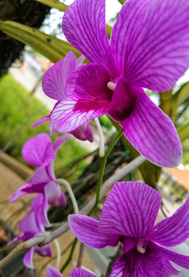 De purpere kleuren van de close-upmening van orchideeën stock afbeeldingen
