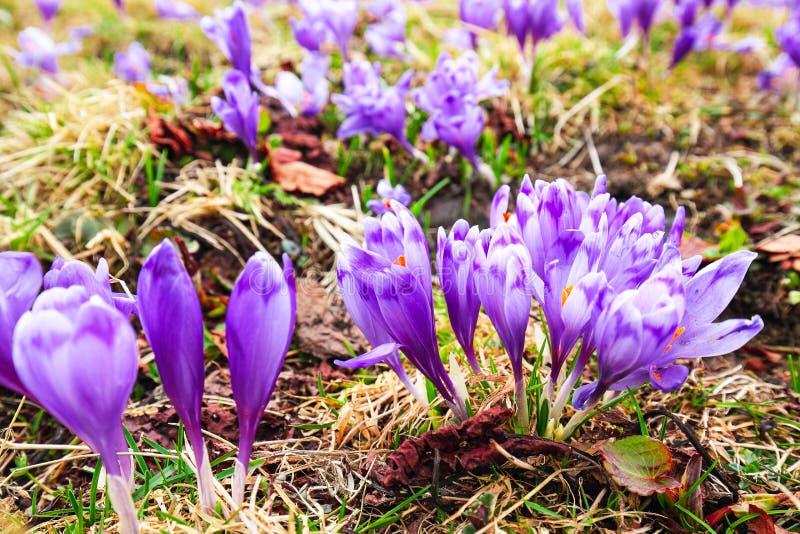 De purpere krokusbloemen in sneeuw het wekken in de lente aan warm gaan royalty-vrije stock foto