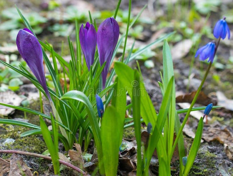 De purpere Krokussen en Blauwe Scylla zijn de eerste de lentebloemen stock fotografie