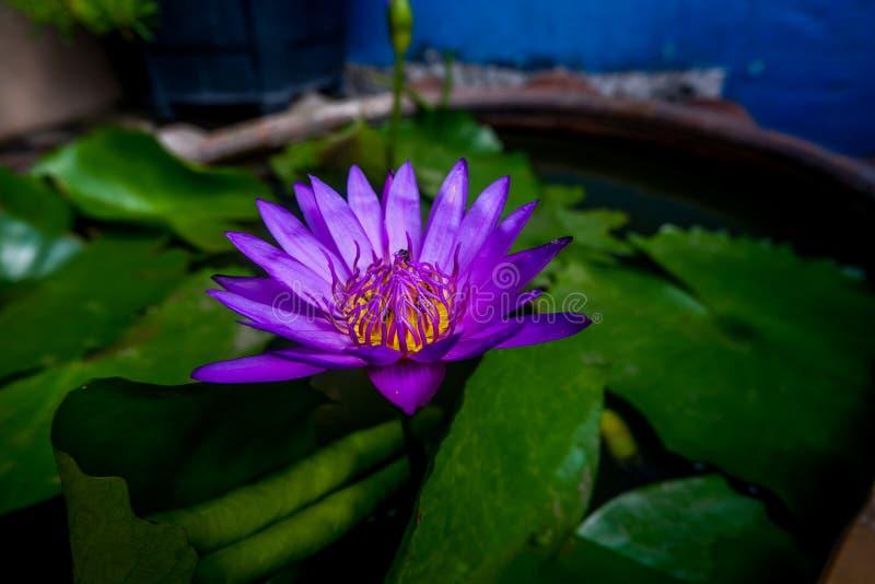 De purpere lotusbloem heeft bijen in de lotusbloembloem stock fotografie