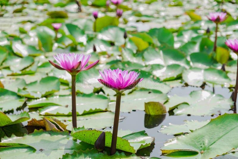 De purpere lotusbloem heeft een mooi boeket in het midden van de pool stock afbeeldingen