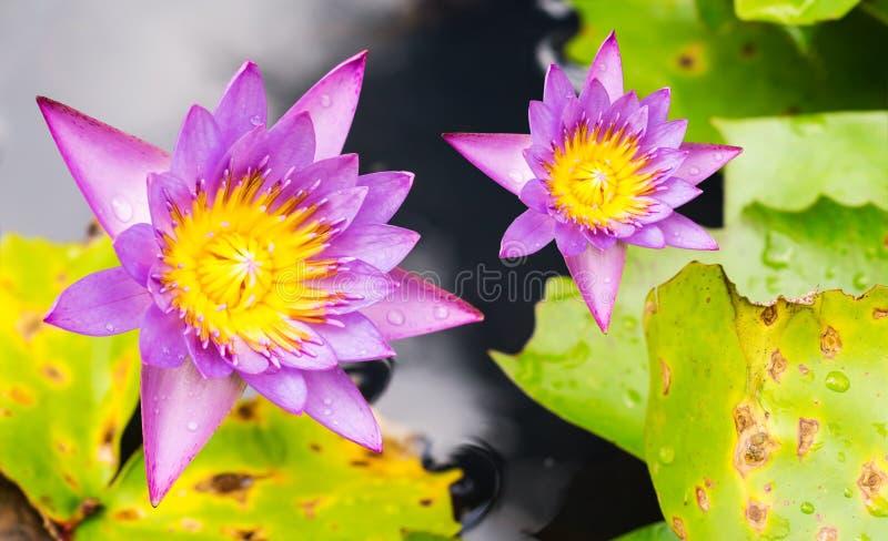 De purpere lotusbloem van de waterleliebloem royalty-vrije stock afbeelding