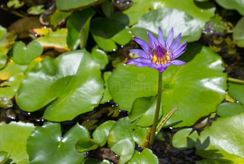 De purpere lotusbloembloem met bij absorbeert op stuifmeel stock foto