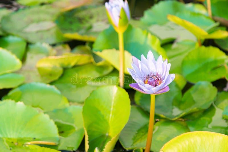 De purpere lotusbloembloem op meer, sluit omhoog royalty-vrije stock fotografie