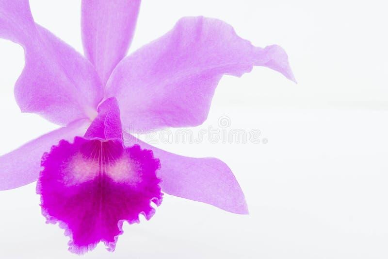 De Purpere orchideeën bloeien op witte achtergrond royalty-vrije stock afbeelding