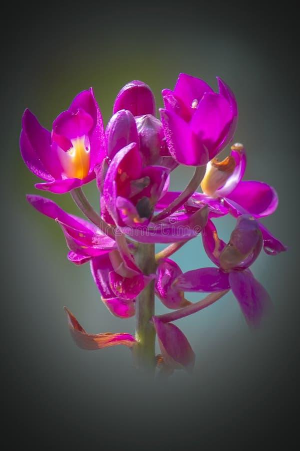 De purpere orchideeën geïsoleerde achtergrond van Spathoglottisplicata royalty-vrije stock foto's