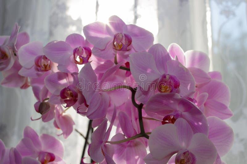 De purpere orchidee op het venster, ochtend op het venster bloeit een mooie orchidee royalty-vrije stock afbeeldingen