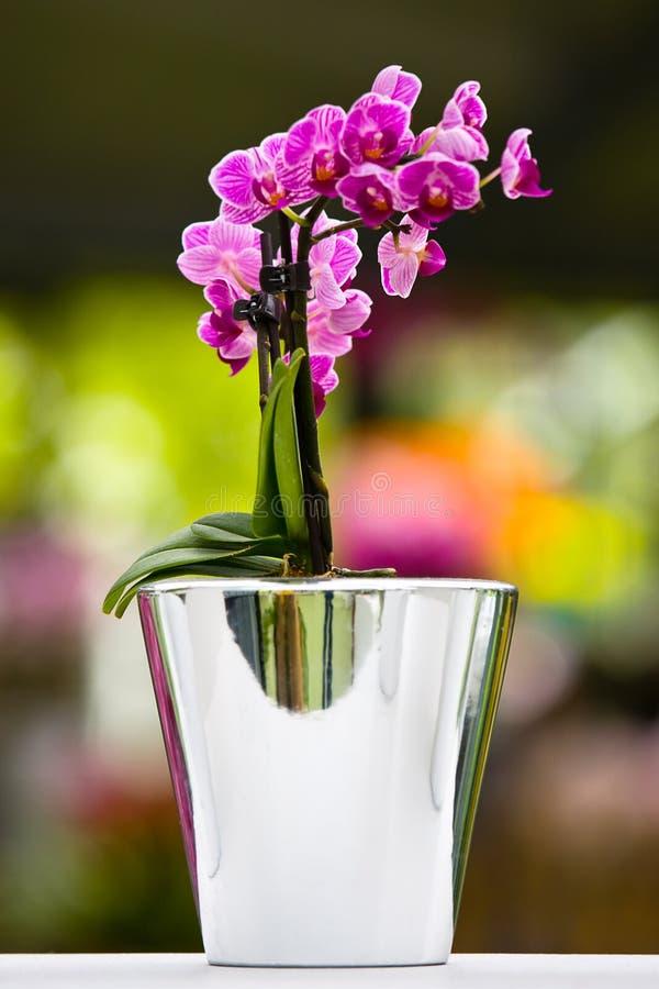 De purpere orchidee in vaas royalty-vrije stock afbeelding