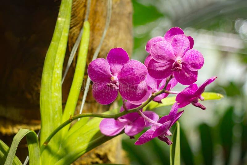De purpere Phalaenopsis-installatie die van de mottenorchidee in een broeikas bloeien royalty-vrije stock afbeelding