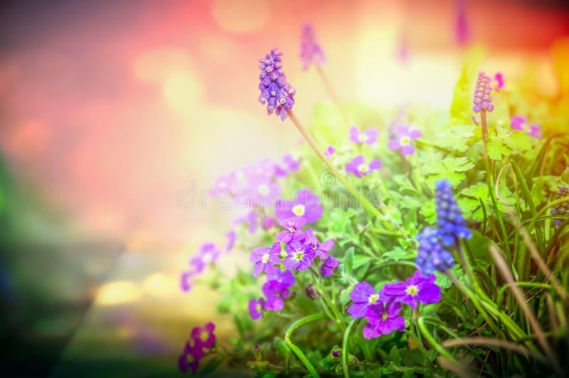 De purpere tuinbloemen in achterlicht op vage aardachtergrond, sluiten omhoog royalty-vrije stock foto's