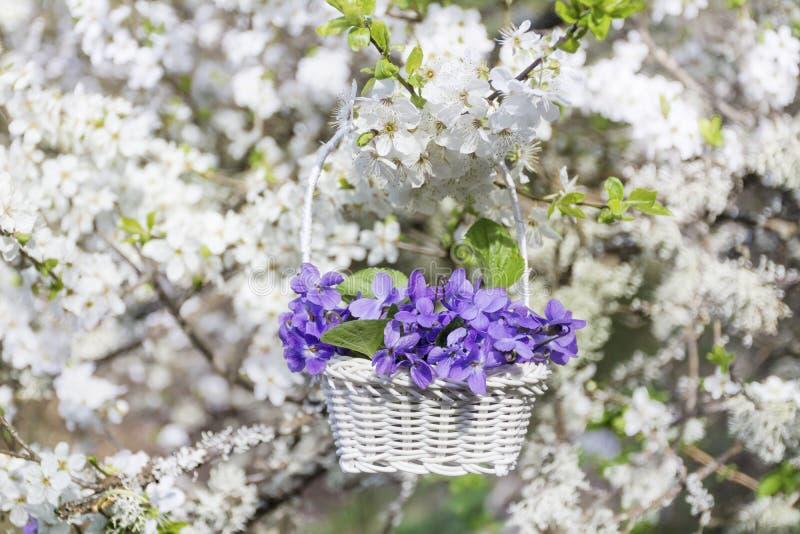 De purpere viooltjes bloeit in een mand die op de takken van een kersenboom hangen royalty-vrije stock fotografie