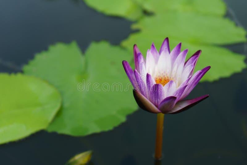 De purpere witte mooie lotusbloem en blad groen op openlucht stock afbeeldingen