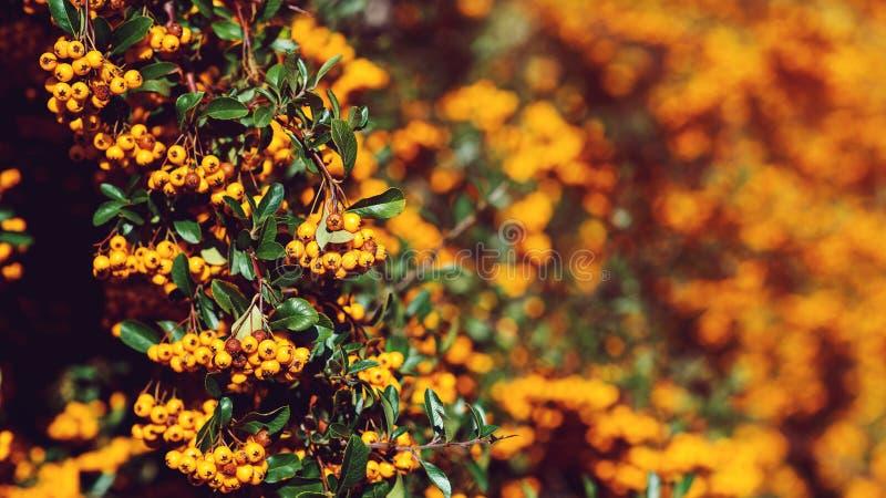De Pyracanthabes, sluit omhoog Autumn Berries And Leaves Kleurrijke daling De kaart van de herfst Met extra formaat De Achtergron stock foto's