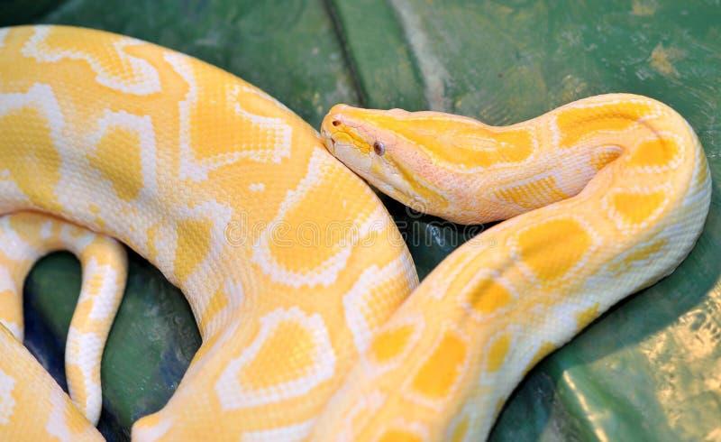 De python van de bal (molurusbivittatus) stock afbeeldingen