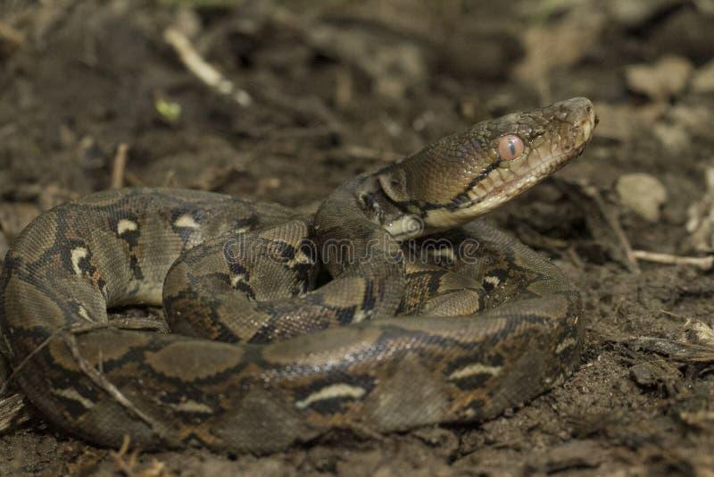 De Pythonreticulatus Met een netvormig patroon van de babypython royalty-vrije stock foto's