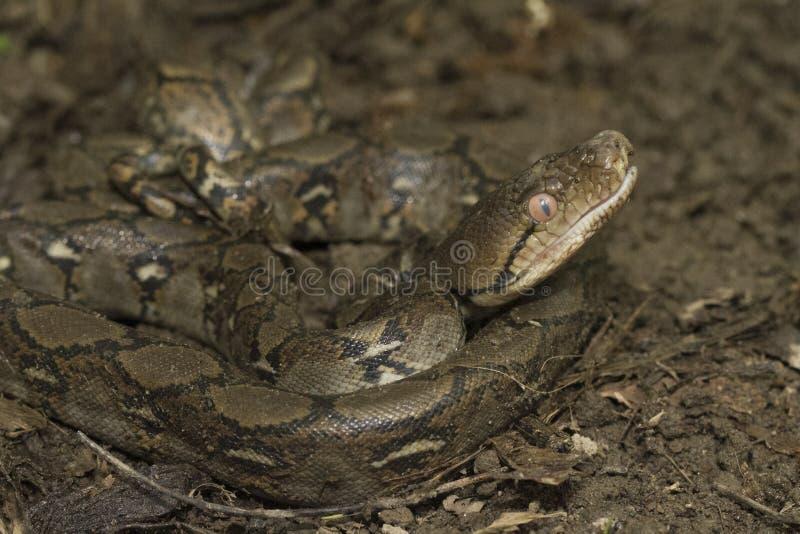 De Pythonreticulatus Met een netvormig patroon van de babypython stock afbeeldingen