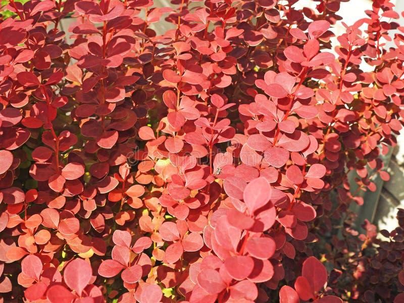 De röda barberrybuskarna royaltyfria foton