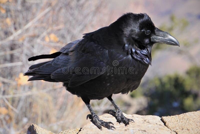 De raaf is één van verscheidene groot-gebouwde species van de soort Corvus royalty-vrije stock fotografie