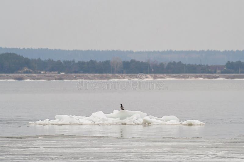 De raaf zit op een drijvende ijsijsschol op de rivier Volga Het centrale stadsstrand Cheboksary, Chuvash Republiek 09/04/2016 stock afbeeldingen