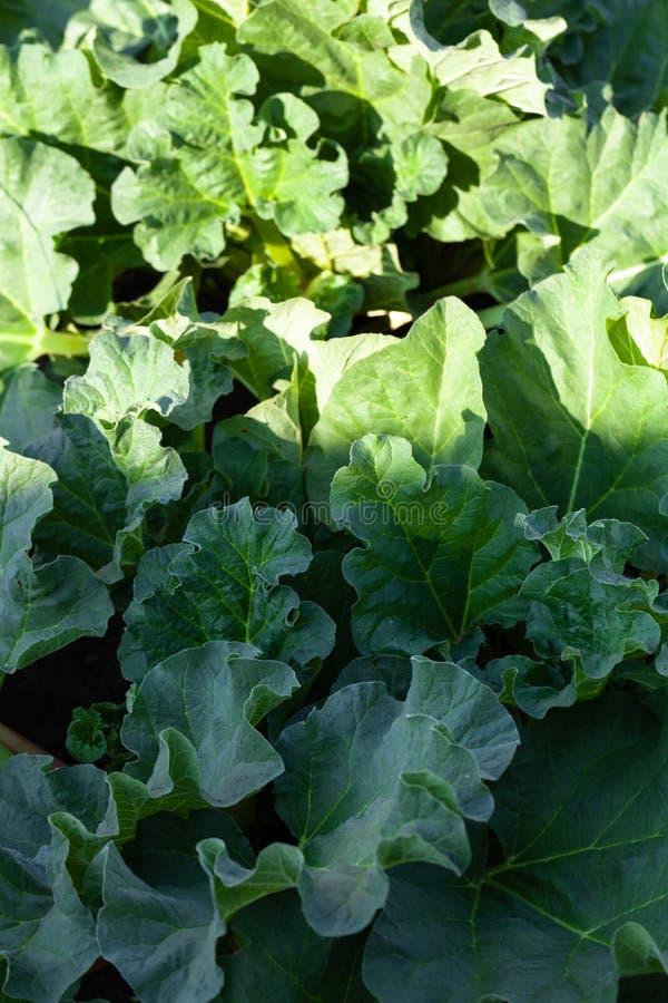 De rabarber groeit in de tuin in de tuin Eerste de Selectienadruk van de de lenteoogst Ondiepe Diepte van Gebied stock afbeeldingen