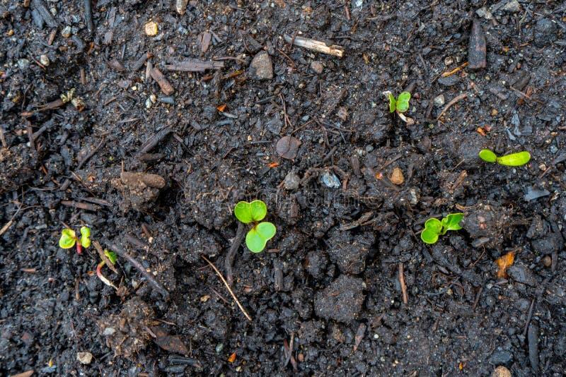 De radijszaailing ontspruit spruiten voortkomend uit donkere compostgrond in een echte tuin stock foto