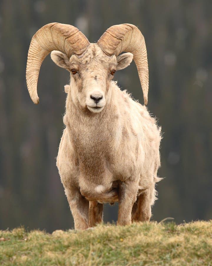 De Ram die van Bighorn uit eruit ziet stock foto