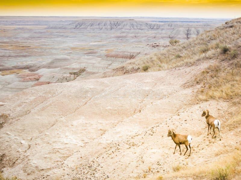 De Ram & de Ooi van twee Bighornschapen in het Nationale Park van Badlands, Zuid-Dakota, panorama stock afbeelding