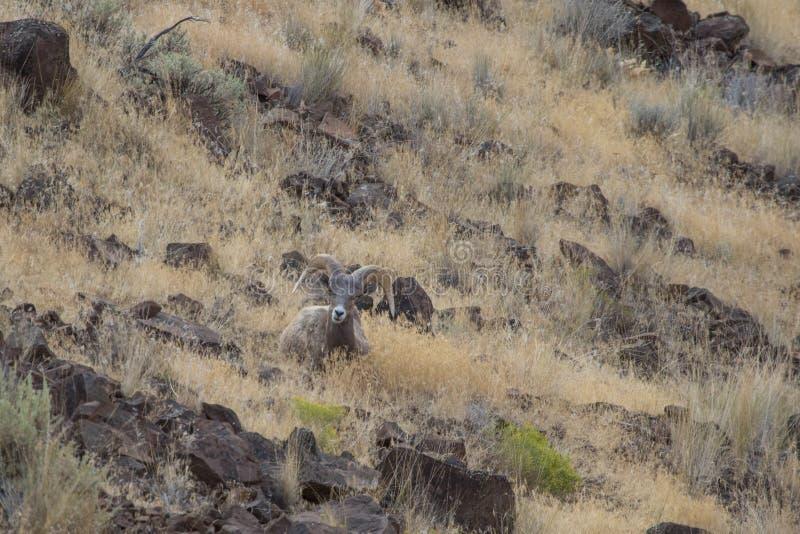 De Ram van Bighornschapen stock foto