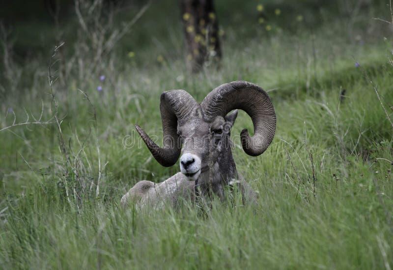 De Ram van Bighornschapen royalty-vrije stock foto's