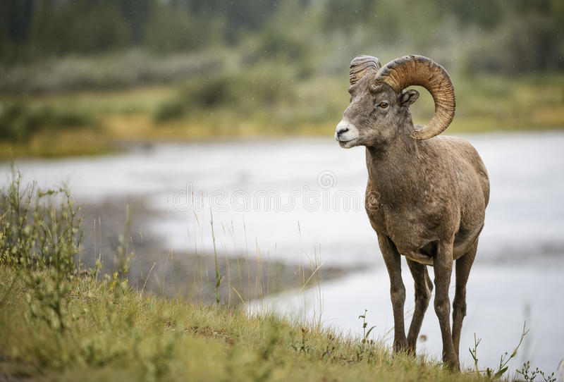 De Ram van Bighornschapen royalty-vrije stock foto