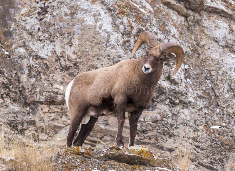 De Ram van Bighornschapen stock afbeeldingen