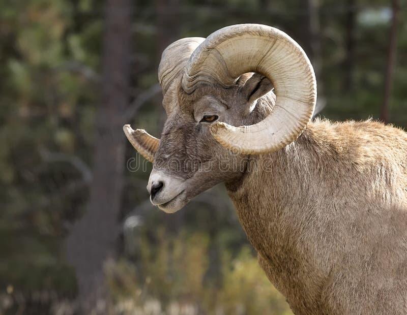 De Ram van Bighornschapen royalty-vrije stock afbeeldingen