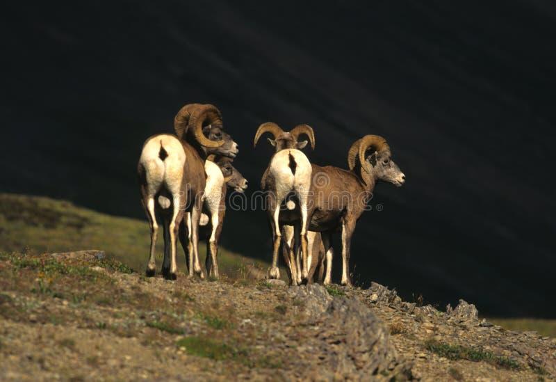De Rammen van de Schapen van Bighorn stock afbeelding