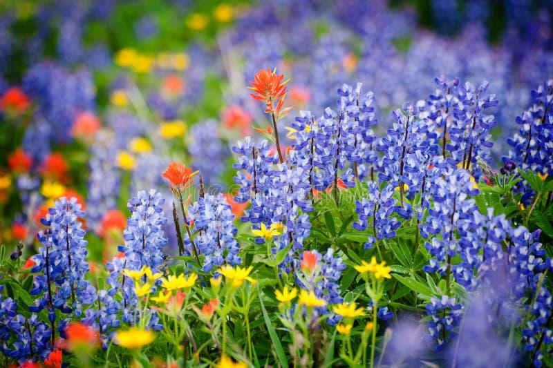 De Rand Wildflowers van de heliotroop. royalty-vrije stock foto's