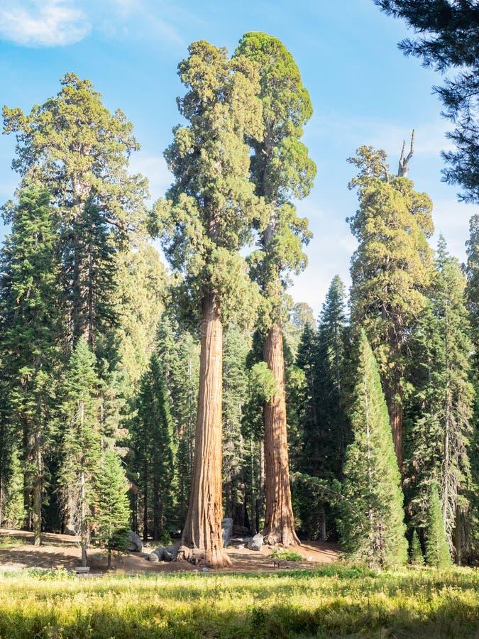 De randweide van sequoiabomen royalty-vrije stock foto