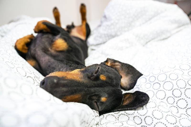 De rassen van de hondtekkel, zwarte en tan, ligt op terug op het bed Huisdieren vriendschappelijke hotel of huisruimte stock foto