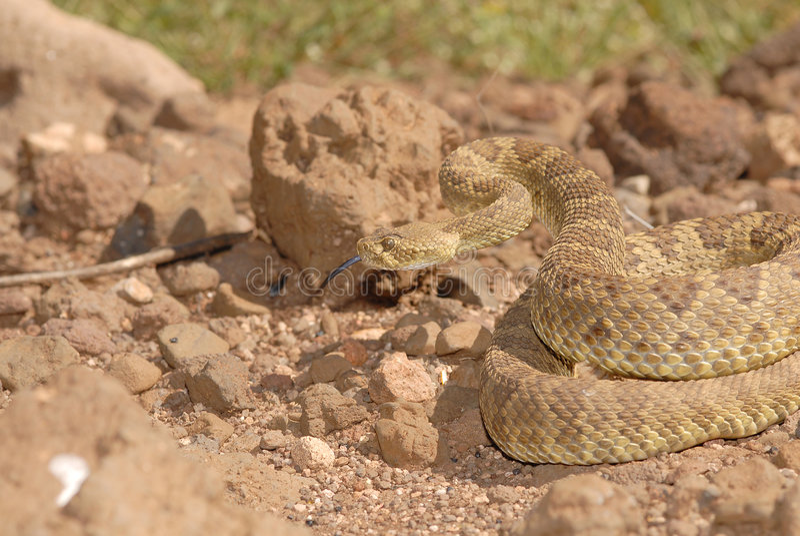 De Ratelslang van Mojave stock fotografie
