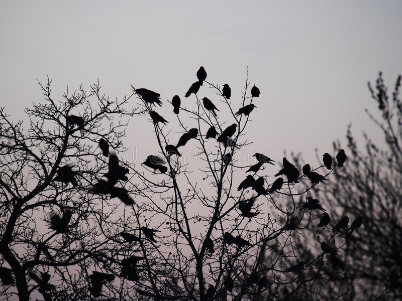 De raven stock foto's