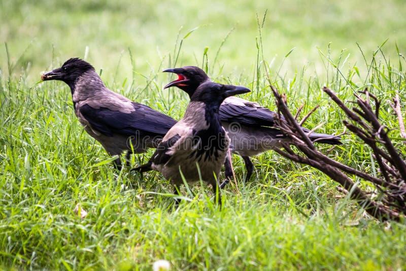 De raven in een park zoeken voedsel royalty-vrije stock foto