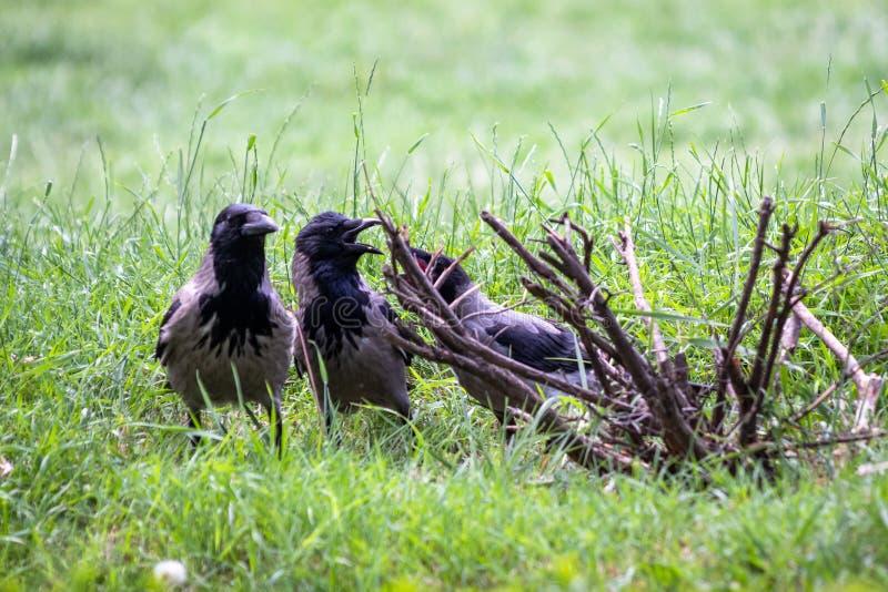 De raven in een park zoeken voedsel royalty-vrije stock foto's