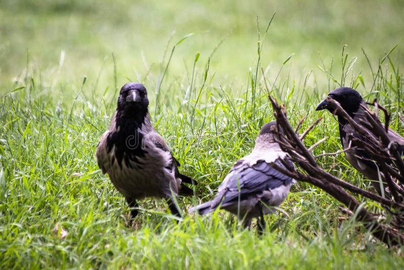 De raven in een park zoeken voedsel stock foto's