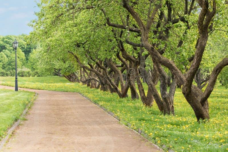 De recreatiegebied van het stadspark in de zomer Fruit-bomen langs een het lopen weg, een nauwkeurig gazon, de tot bloei komende  stock afbeelding