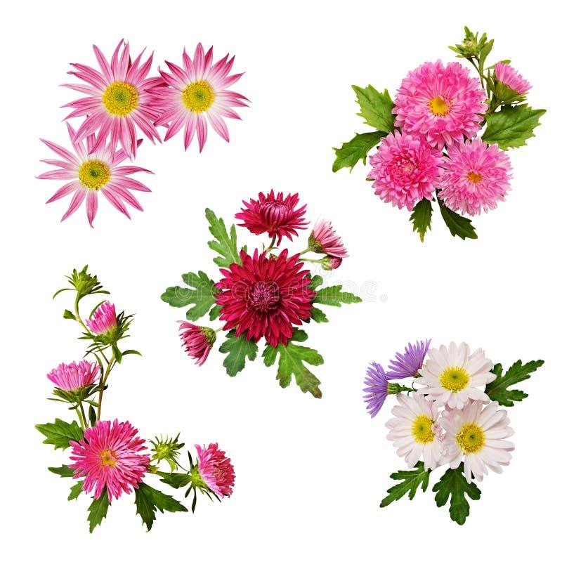 De reeks van aster bloeit regelingen stock foto