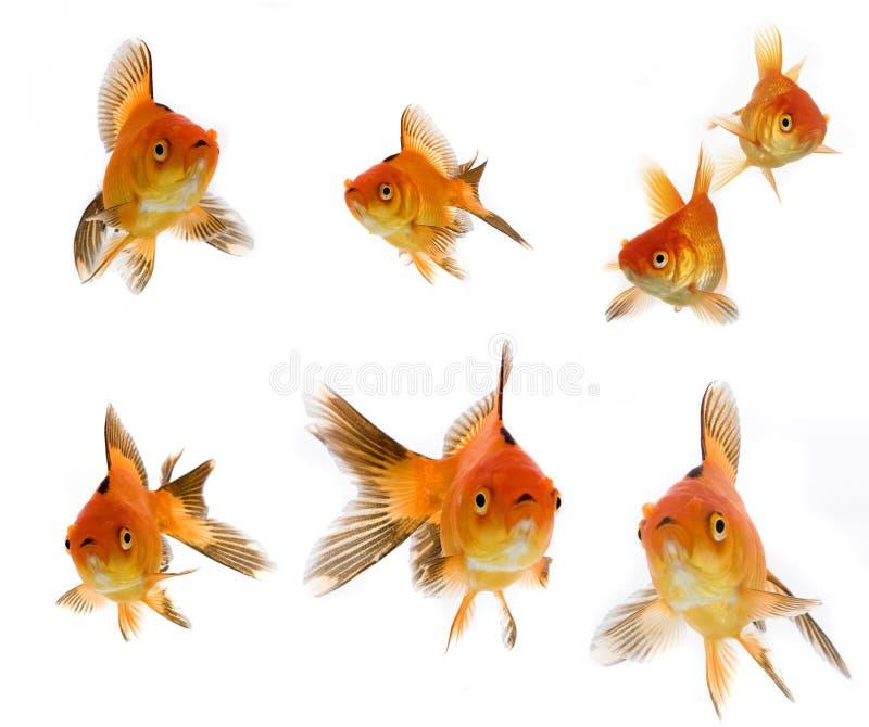De reeks van de goudvis stock foto's