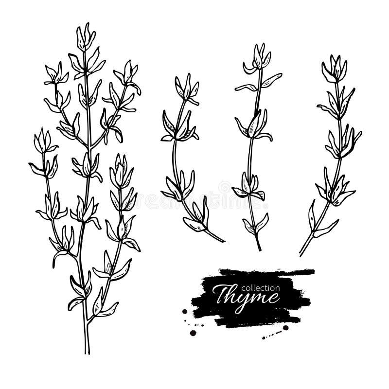 De reeks van de thymetekening Geïsoleerde thymeinstallatie en bladeren royalty-vrije illustratie