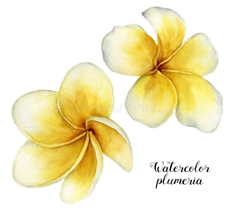 De reeks van waterverfplumeria De hand schilderde tropische die bloemen op witte achtergrond worden geïsoleerd Frangipani Voor on vector illustratie