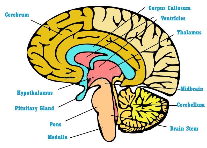 De regeling van de hersenenanatomie stock illustratie
