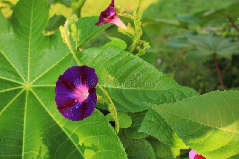 De regen doorweekte purpere bloem van de Ochtendglorie tegen een Ricinuszaadblad stock foto's